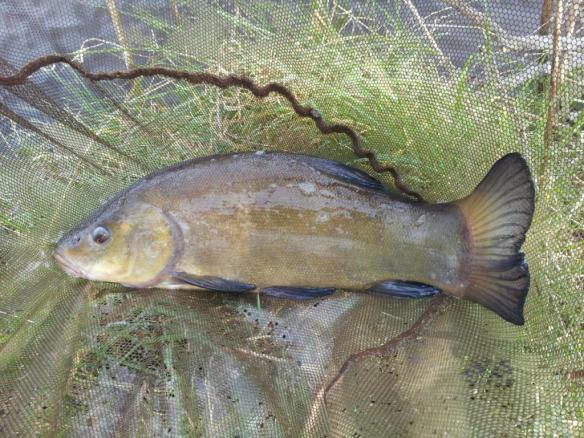 Callum Geraghty Woodside Pool First Tench at 4lb